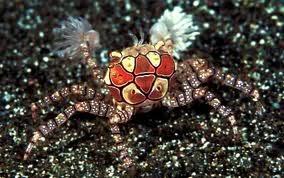 The incredible Pom Pom Crab! Untitledpompom