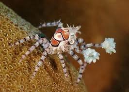 The incredible Pom Pom Crab! Untitledpompom2