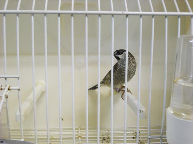 Fotos 17ªExpoave Clube Ornitológico do Antuã COA020