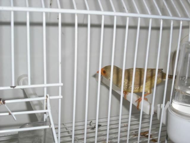 Fotos 17ªExpoave Clube Ornitológico do Antuã COA022