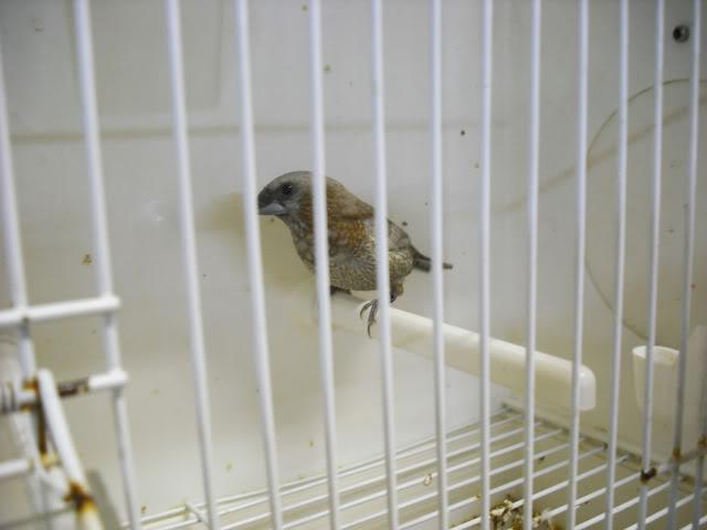 Fotos 17ªExpoave Clube Ornitológico do Antuã COA043