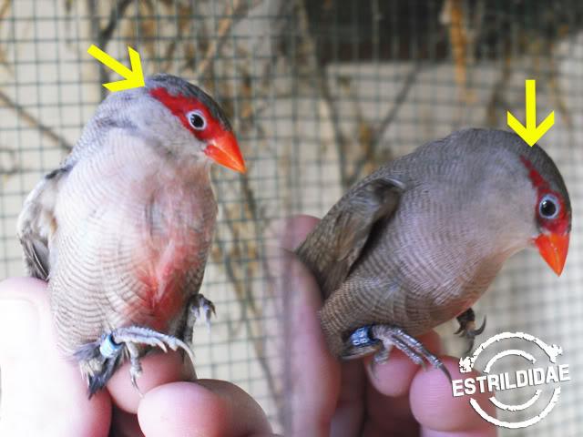 Como Identificar o macho e a femea de bico de lacre? Distino1