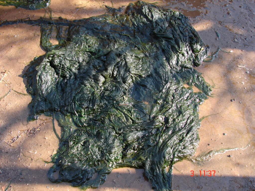 Blanket weed DSC07389