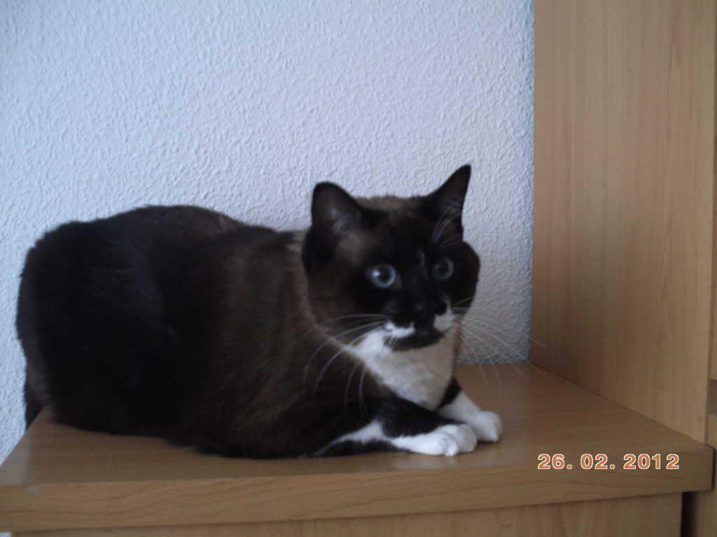 Nora, preciosa siamesa  de ojos azules abandonada y desungulada (Madrid Felina) Madrid Nora126feb12