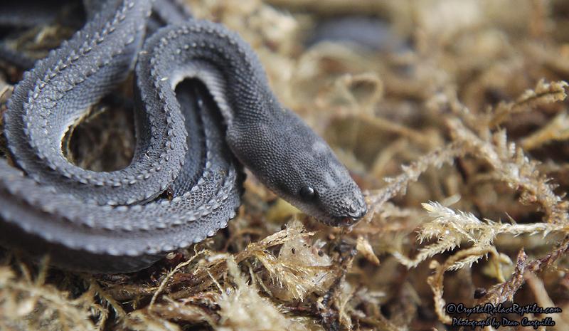 Xenodermus javanicus XenodermusJavanicus4_zps7f2890c4