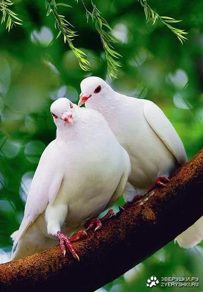 Sve vrste Ptica - Page 2 1198166142_white_doves