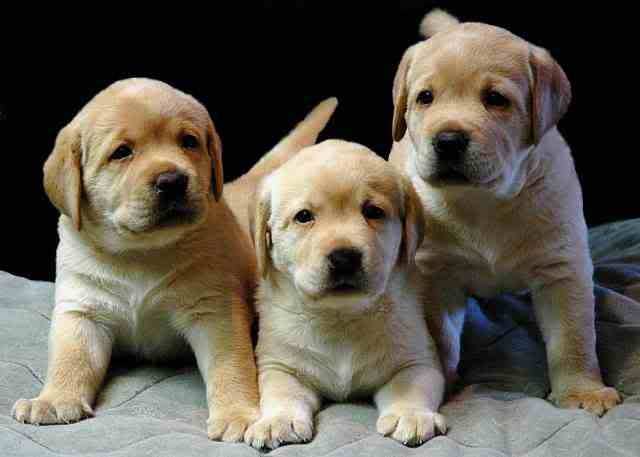 Psi i psići (kinologija, pasmine pasa, obuka pasa, dresura pasa, lovački psi, kućni psi, hranidba pasa, slike pasa, Vaša najdraža pasmina pasa, izložbe pasa, šetanje pasa, kupanje pasa, perilica za pse, hrana za pse) - Page 3 3Puppies