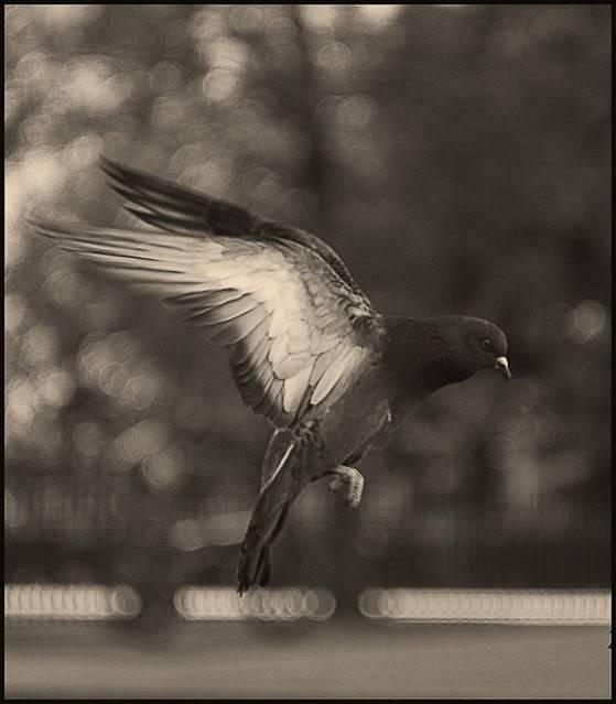 Sve vrste Ptica - Page 7 Bgolubi01