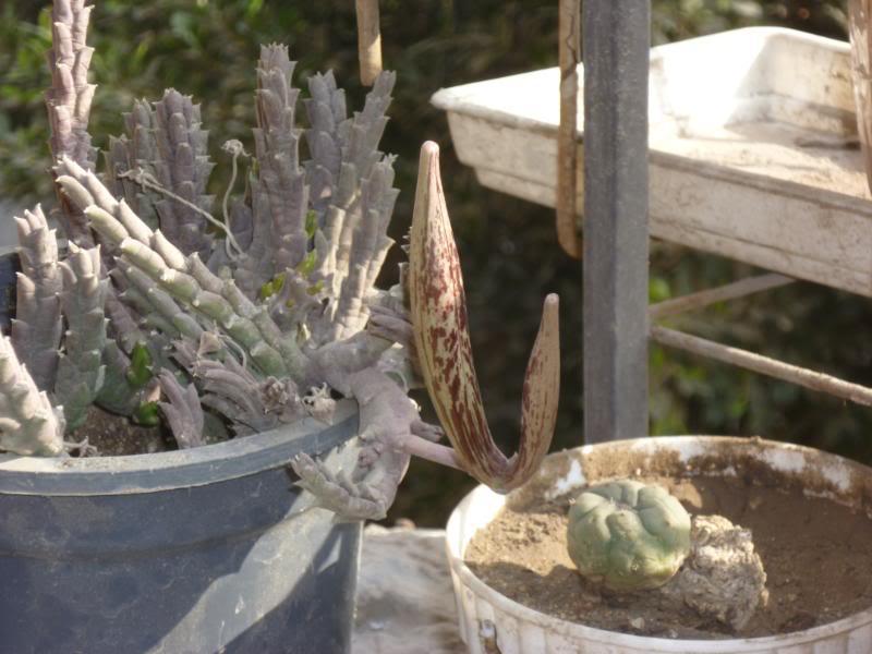 Stapelia lepida weird growth ....... ????????????? P1030318