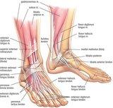 Sala de estudos de Anatomia- Pés Th_anatomia004