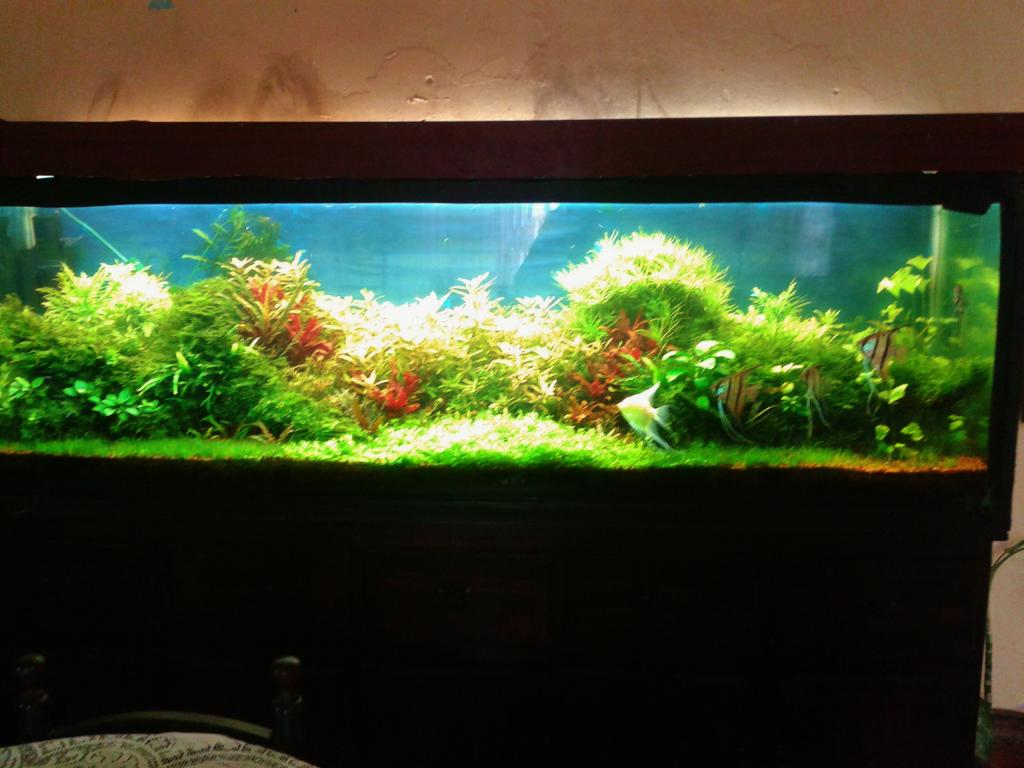 mi acuario de Escalares amazonicos (donacion de un acuamigo) 2014-06-20102130_zpsc34b0198