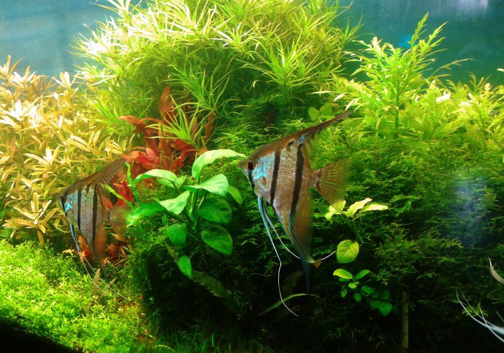 mi acuario de Escalares amazonicos (donacion de un acuamigo) 2014-06-20102232_zps6b44b0ef