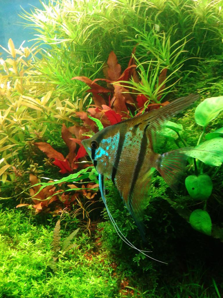 mi acuario de Escalares amazonicos (donacion de un acuamigo) 2014-06-20102250_zps93f20f7e