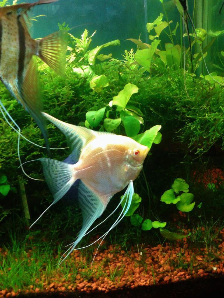 mi acuario de Escalares amazonicos (donacion de un acuamigo) 2014-06-20102259_zpsf9336aff