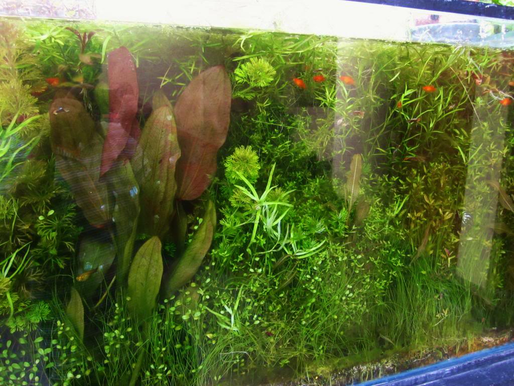 mi acuario plantado de 900 litros (¿el mas grande del peru?) - Página 3 IMG_5369_zpsd53056ac