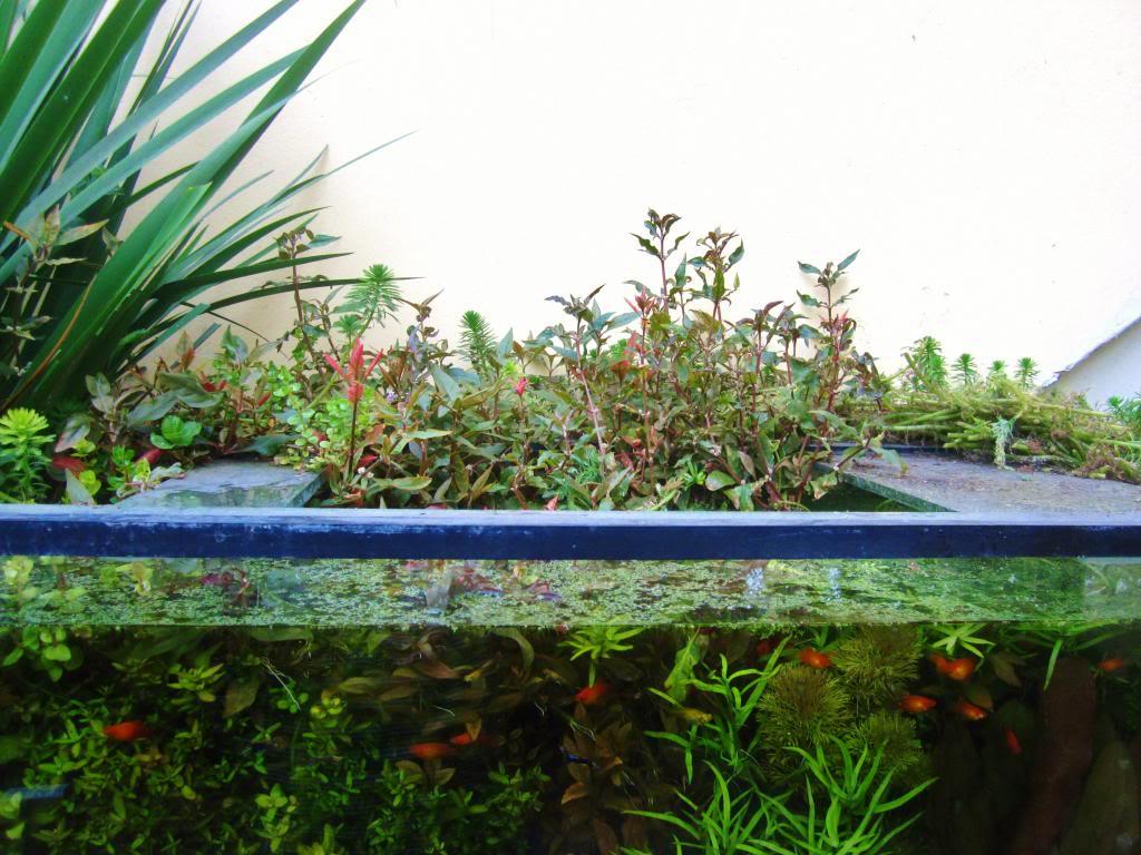 mi acuario plantado de 900 litros (¿el mas grande del peru?) - Página 3 IMG_5371_zps5260593c