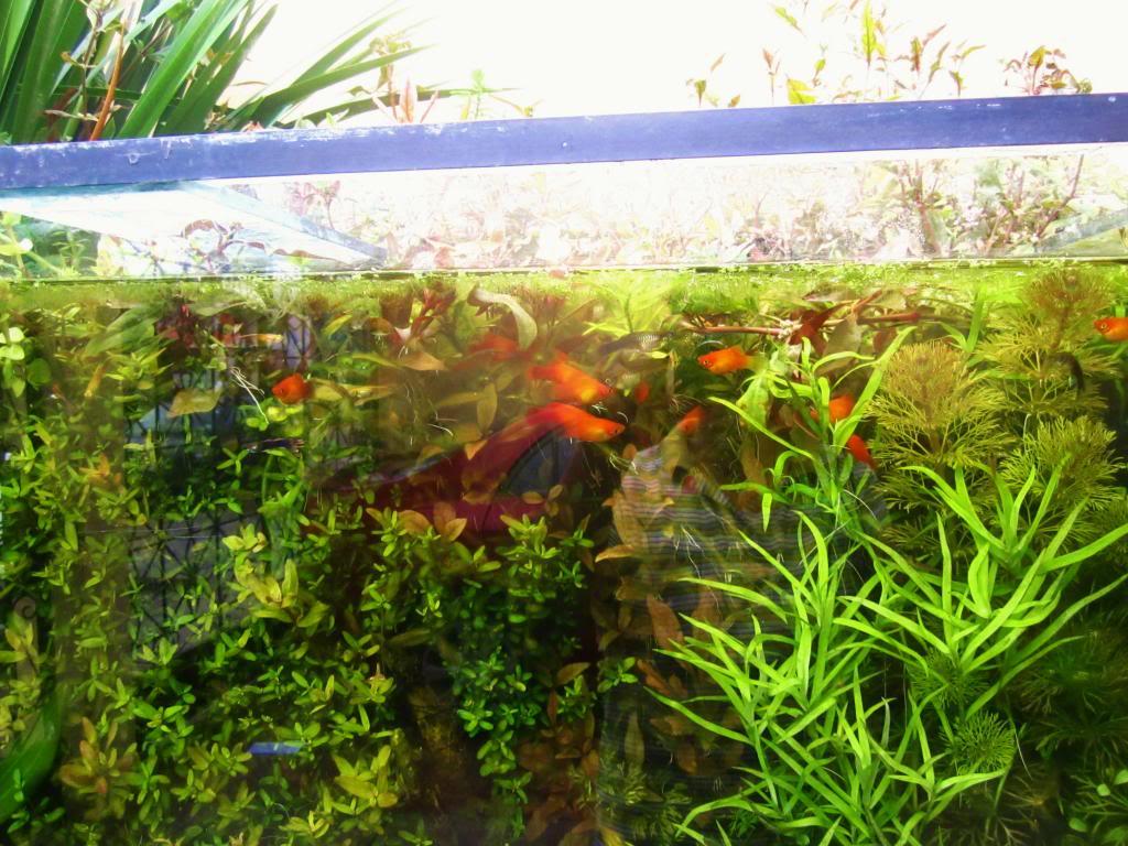 mi acuario plantado de 900 litros (¿el mas grande del peru?) - Página 3 IMG_5372_zps82c22730