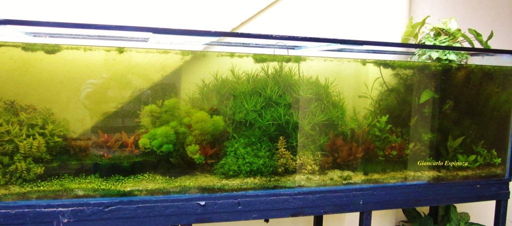mi acuario plantado de 900 litros (¿el mas grande del peru?) IMG_2888