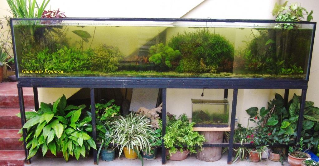 mi acuario plantado de 900 litros (¿el mas grande del peru?) IMG_2905