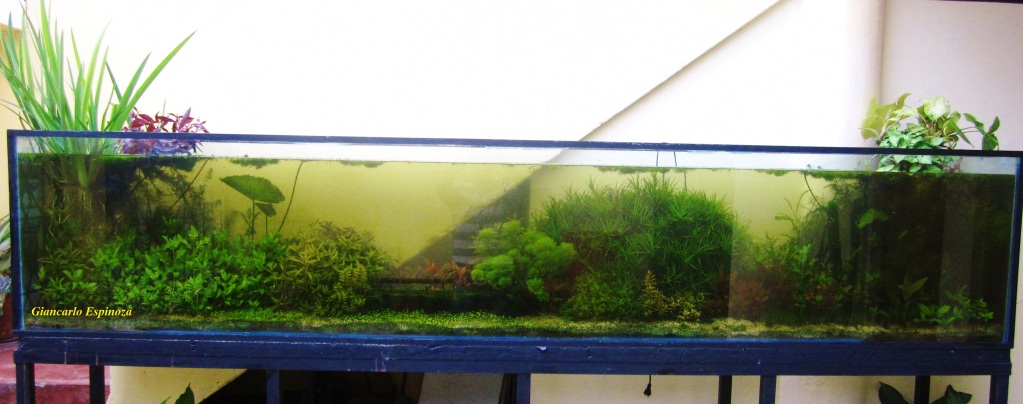 mi acuario plantado de 900 litros (¿el mas grande del peru?) IMG_2906