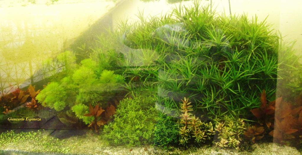 mi acuario plantado de 900 litros (¿el mas grande del peru?) IMG_2907