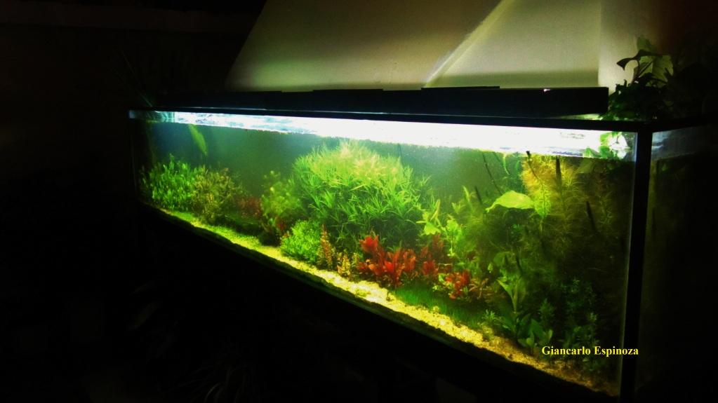 mi acuario plantado de 900 litros (¿el mas grande del peru?) IMG_2912