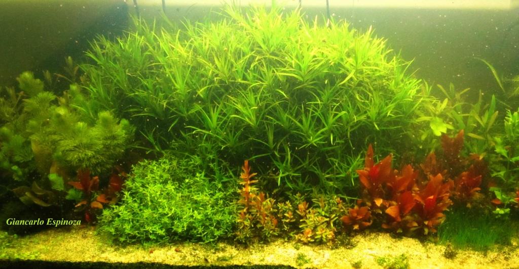 mi acuario plantado de 900 litros (¿el mas grande del peru?) IMG_2915
