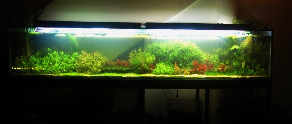 mi acuario plantado de 900 litros (¿el mas grande del peru?) IMG_2921