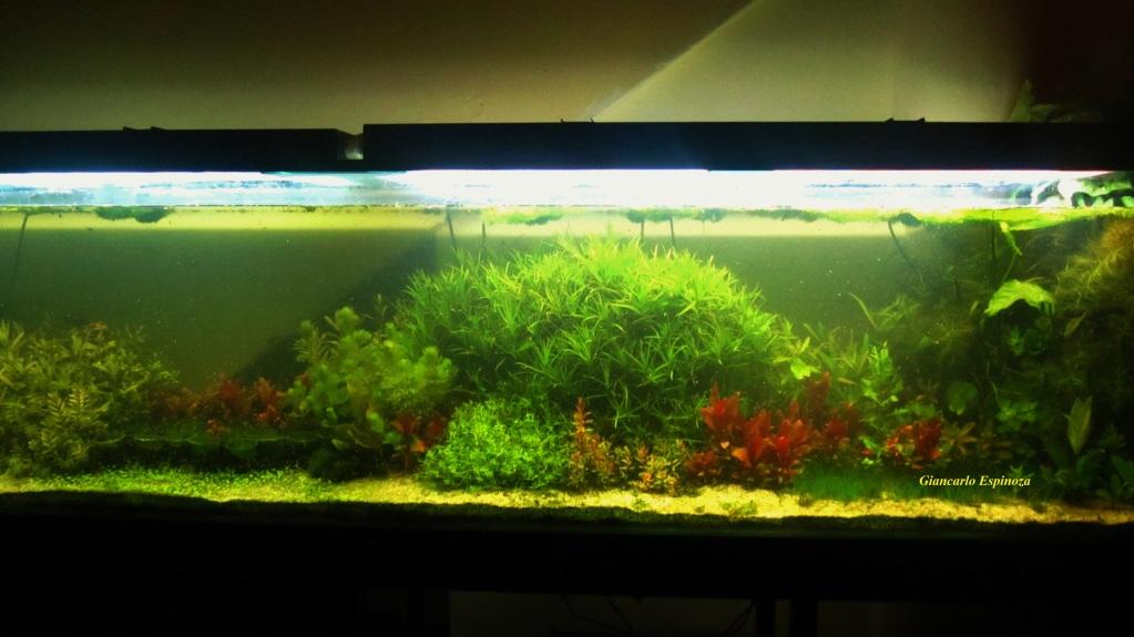 mi acuario plantado de 900 litros (¿el mas grande del peru?) IMG_2922