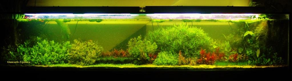 mi acuario plantado de 900 litros (¿el mas grande del peru?) IMG_2953