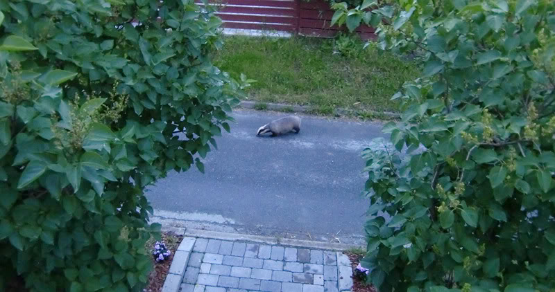I just had a badger outside my house CIMG4172