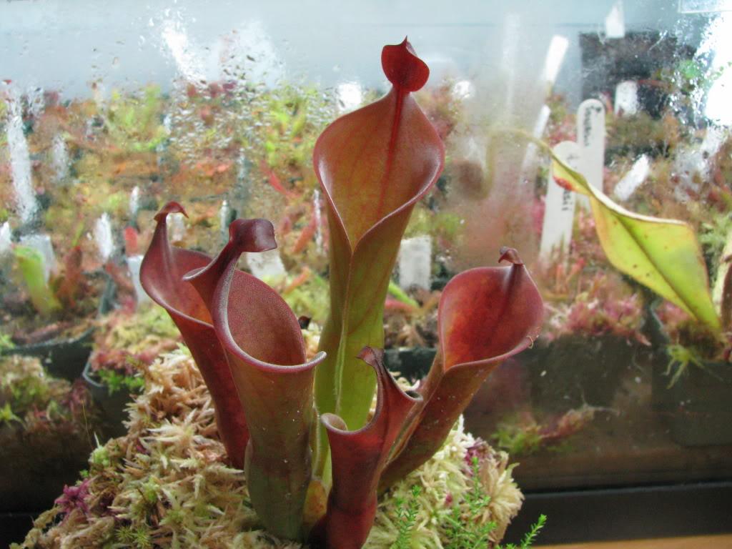 Une couple d'heliamphora Pictures09mauriceplantsfriends1544