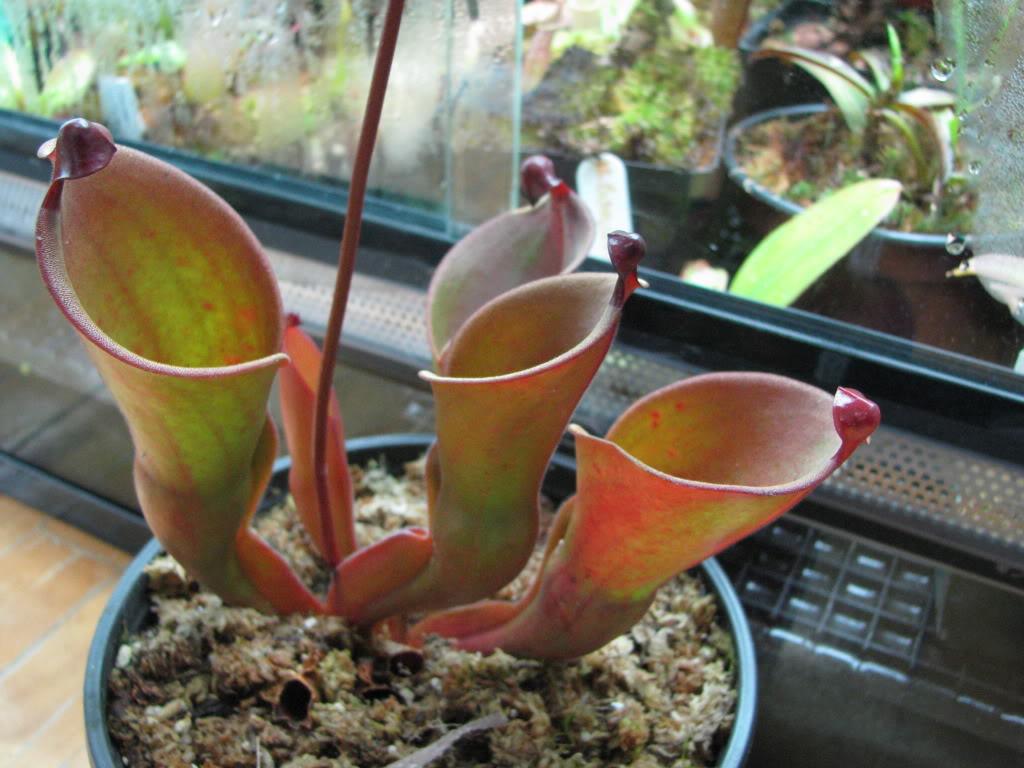 Une couple d'heliamphora Pictures09mauriceplantsfriends1550