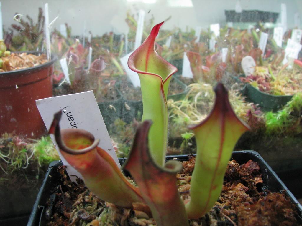 Une couple d'heliamphora Pictures09mauriceplantsfriends1573