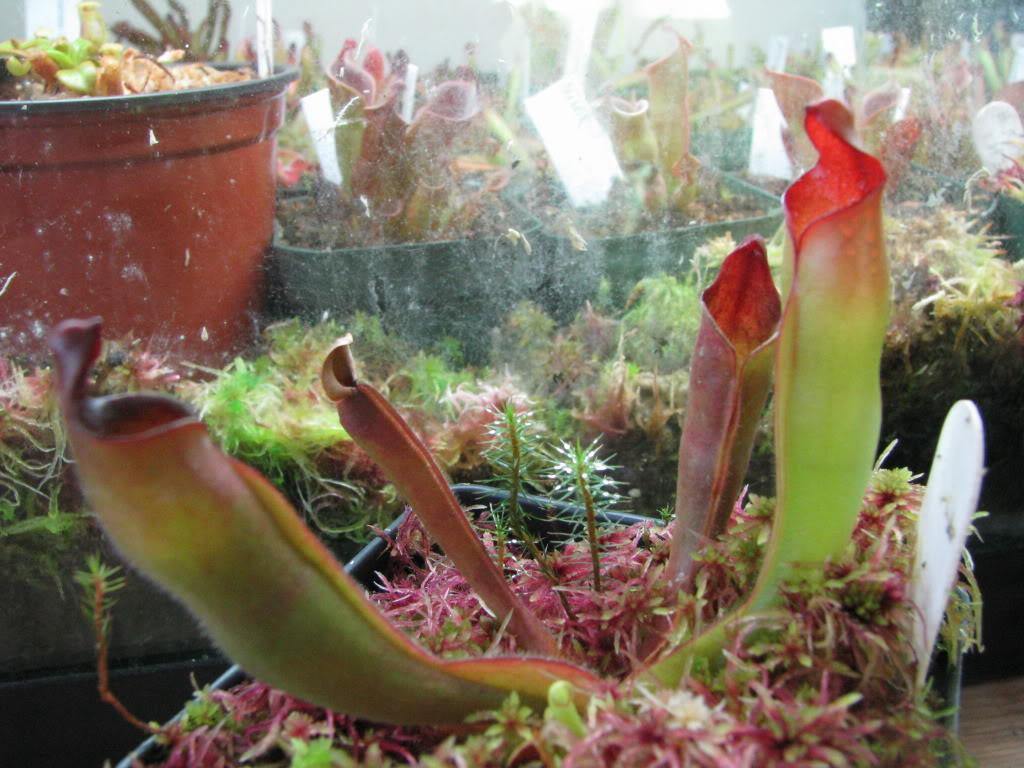 Une couple d'heliamphora Pictures09mauriceplantsfriends1576