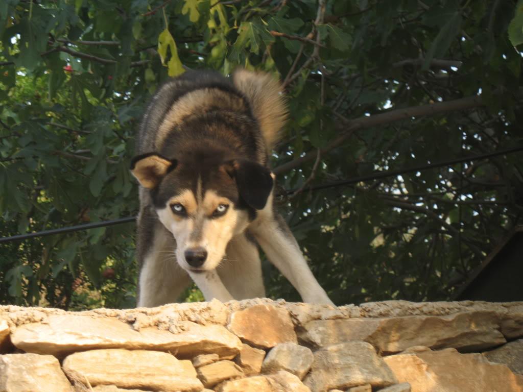 Psi i psići (kinologija, pasmine pasa, obuka pasa, dresura pasa, lovački psi, kućni psi, hranidba pasa, slike pasa, Vaša najdraža pasmina pasa, izložbe pasa, šetanje pasa, kupanje pasa, perilica za pse, hrana za pse) - Page 5 IMG_8228