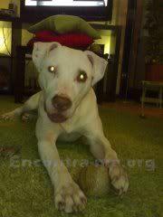 Perdido - Spike, Pit Bull Terrier,jovem, branco - Amial/Santa Luzia (Porto) 69601n