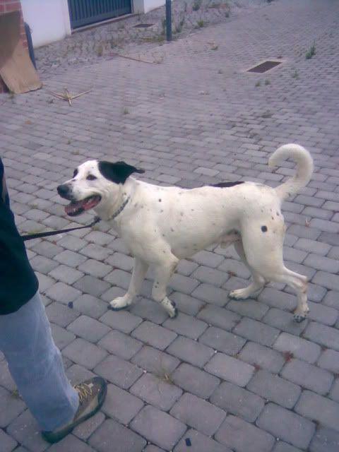 Flecha, x Pit Bull, meigo com pessoas e cães, União Zoófila Img057-1