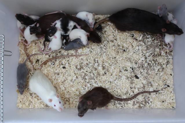 mon elevage de rat ... IMG_1460