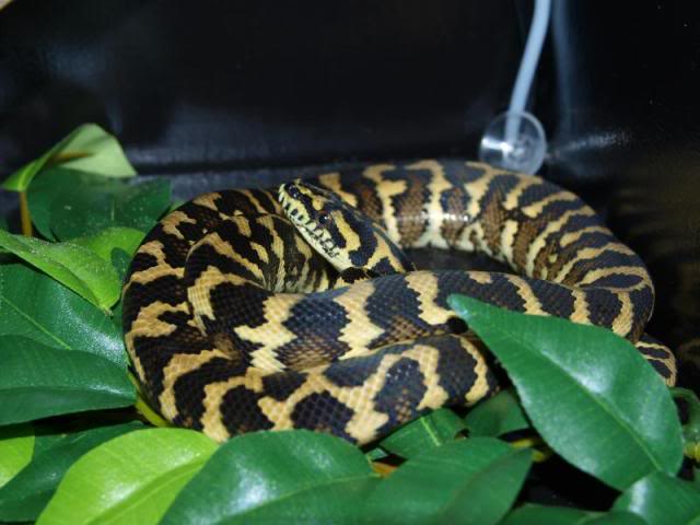 morelia 75% irian jaya jungle jaguar sibling Siblin12