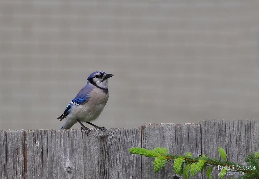 Geai bleue IMG_1610-1
