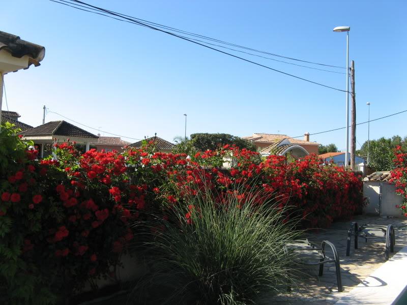 rosal sevillana Jardiin617