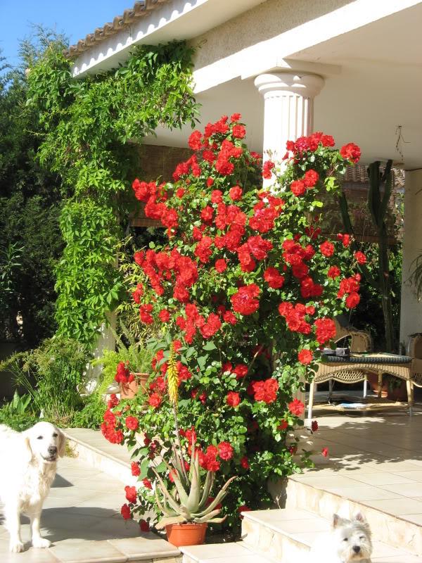 rosal sevillana Jardiin621