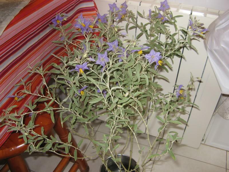 Florecitas azules, bayas naranja ¿quién soy? Jardiin480
