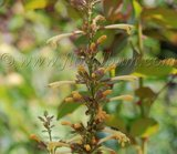 Agastache ' Summer Glow' Th_AgastacheSummerGlow