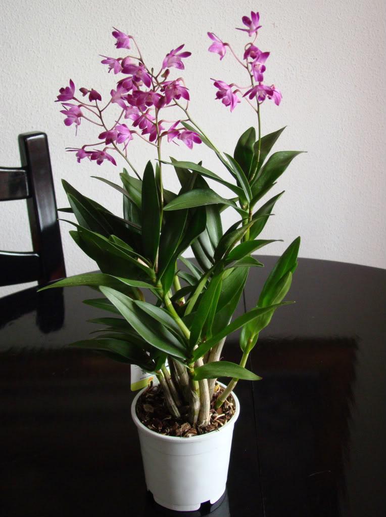 Une partie de mes orchidées... - Page 16 DendrobiumKingianumBerryOda-1