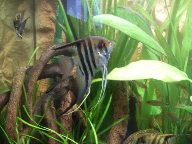 Débat sur le modèle d'un aquarium amazonien SDC11787