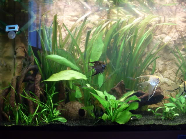Débat sur le modèle d'un aquarium amazonien SDC11813