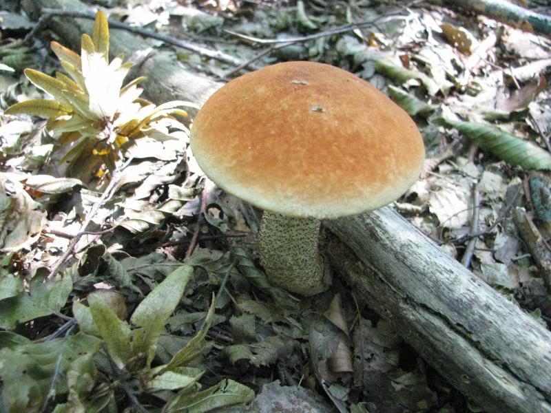 TURČIN    (Leccinum aurantiacum ) IMG_4011