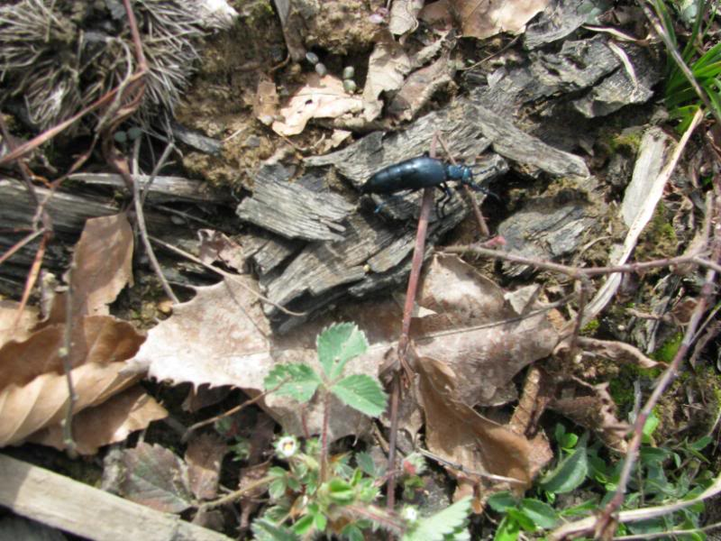 Slike insekata- buba IMG_2558